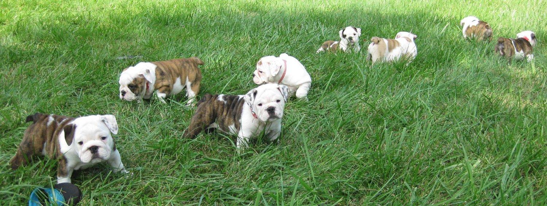 Sugar Plum Bulldogs Home Of The Smaller Akc English Bulldogs Puppies